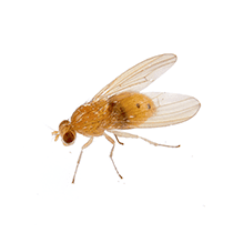 what a fruit fly looks like