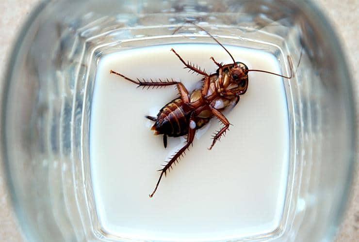 german cockroach in glassware at restaurant