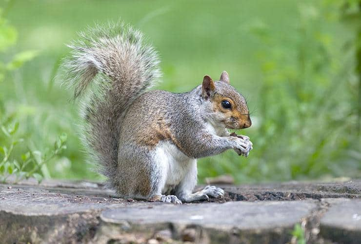 gray squirrel outside home