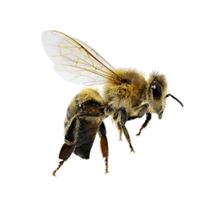 what a honey bee looks like