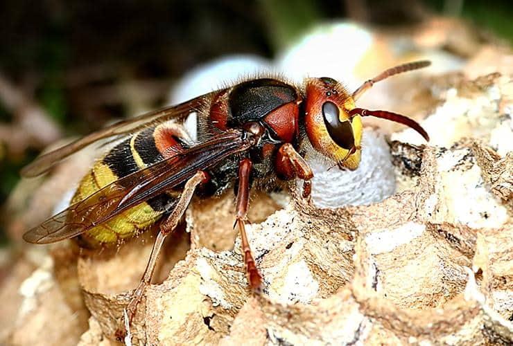 close up image of a hornet