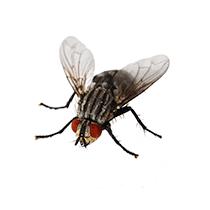 house fly illustration