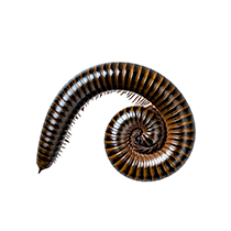 curled up millipede in greenville sc