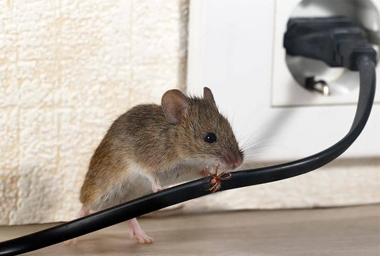 a mouse chewing a power cord in a home in clemson south carolina