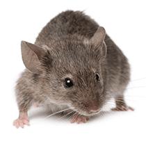 norway rat in south carolina