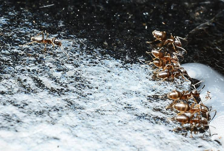 a group of odorous house ants in a home in greer south carolina