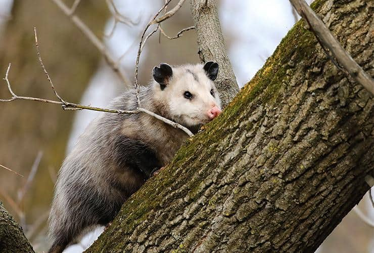 an opossum on a tree outside a home in highlands north carolina