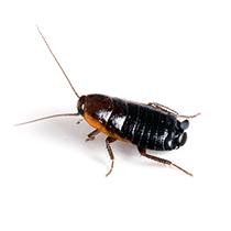 what an oriental cockroach looks like