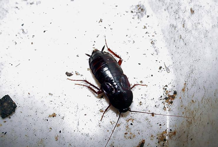 an oriental cockroach in a bathroom in honea path south carolina