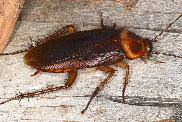 palmetto bugs in south carolina are also knowns as american roaches
