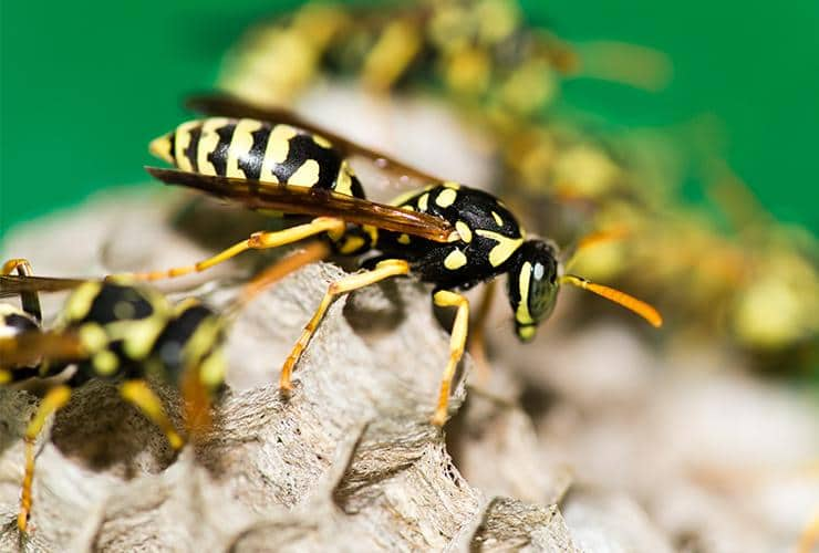 many paper wasps on a nest in laurens south carolina