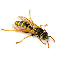 paper wasp in south carolina