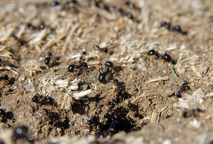 pavement ants in greenville south carolina