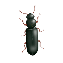 illustration of what a powder post beetle looks like