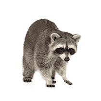 raccoon in south carolina