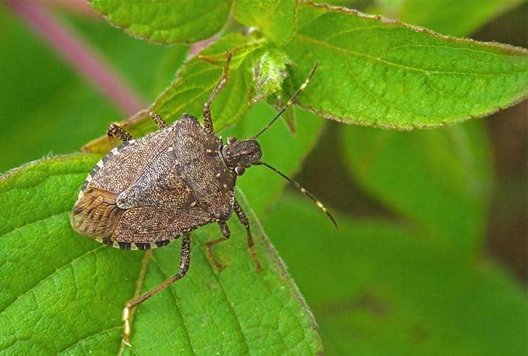 a stink bug on a plant outside of a home in gaffney south carolina