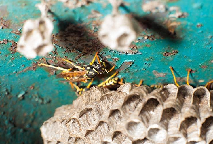 wasp in south carolina near honey comb