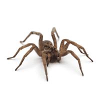 wolf spider in gaffney south carolina
