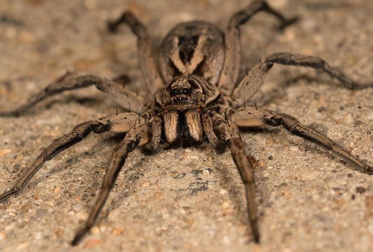 wolf spider in greenville sc