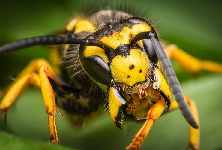 close up of a yellow jacket outside in greer south carolina