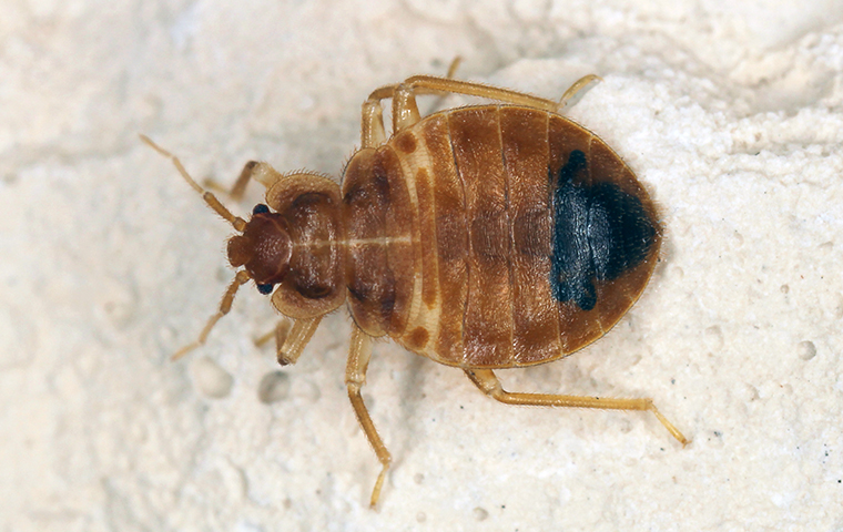 a bed bug on bedding in a home in overton
