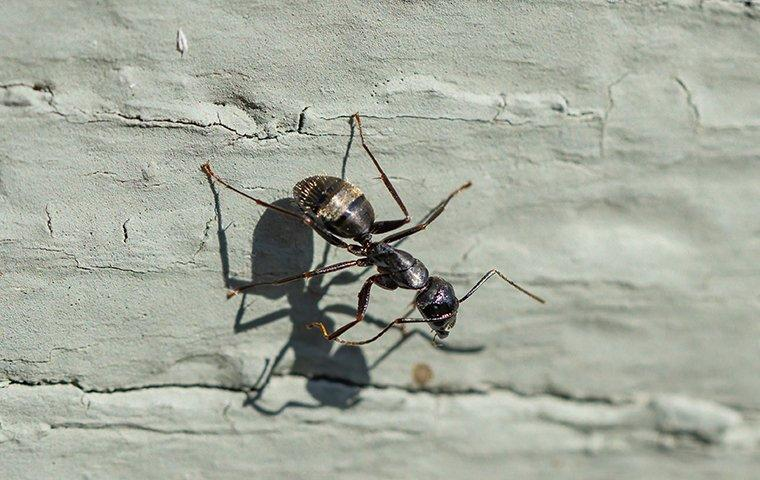 a carpenter ant crawling on a foundation of a home