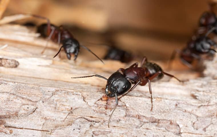 several carpenter ants crawling on a log