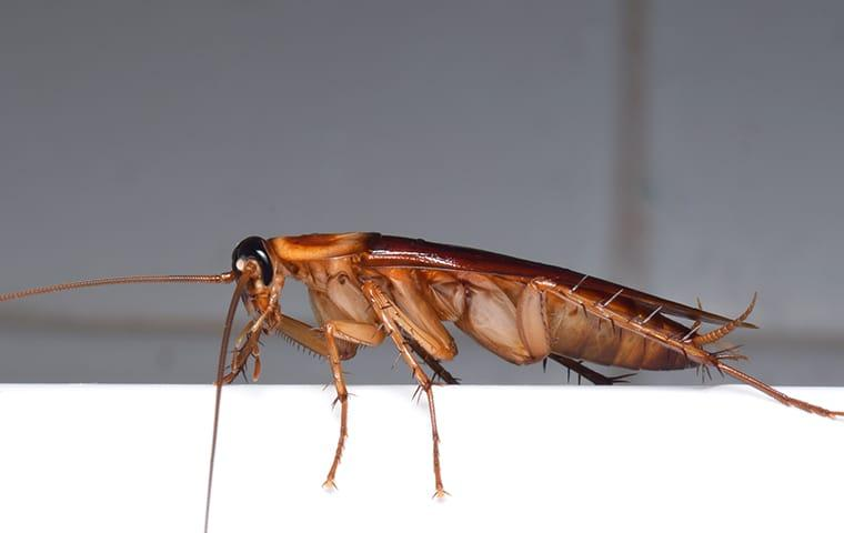 an american cockroach crawling along the kitchen counter top of a texarkana home during fall