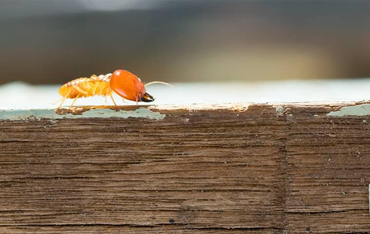a termite crawling on wood at a home in arkansas