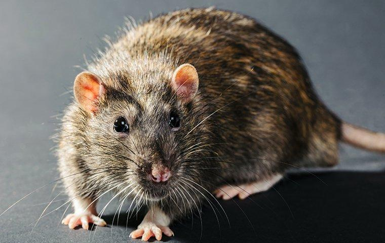 rat runnning across kitchen floor
