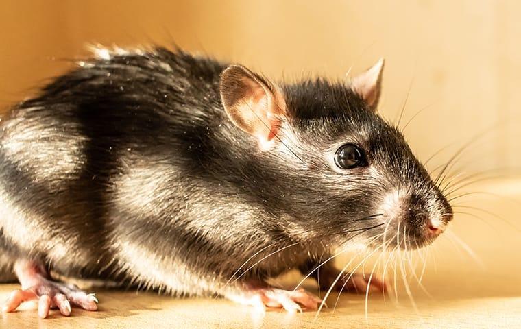a rodent running along a texarkana texas property