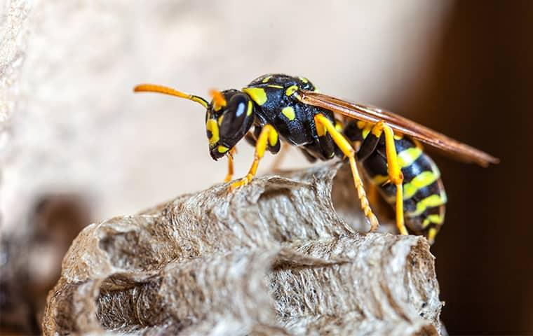 a stinging black and yellow wasp perched on his nest on a texas property