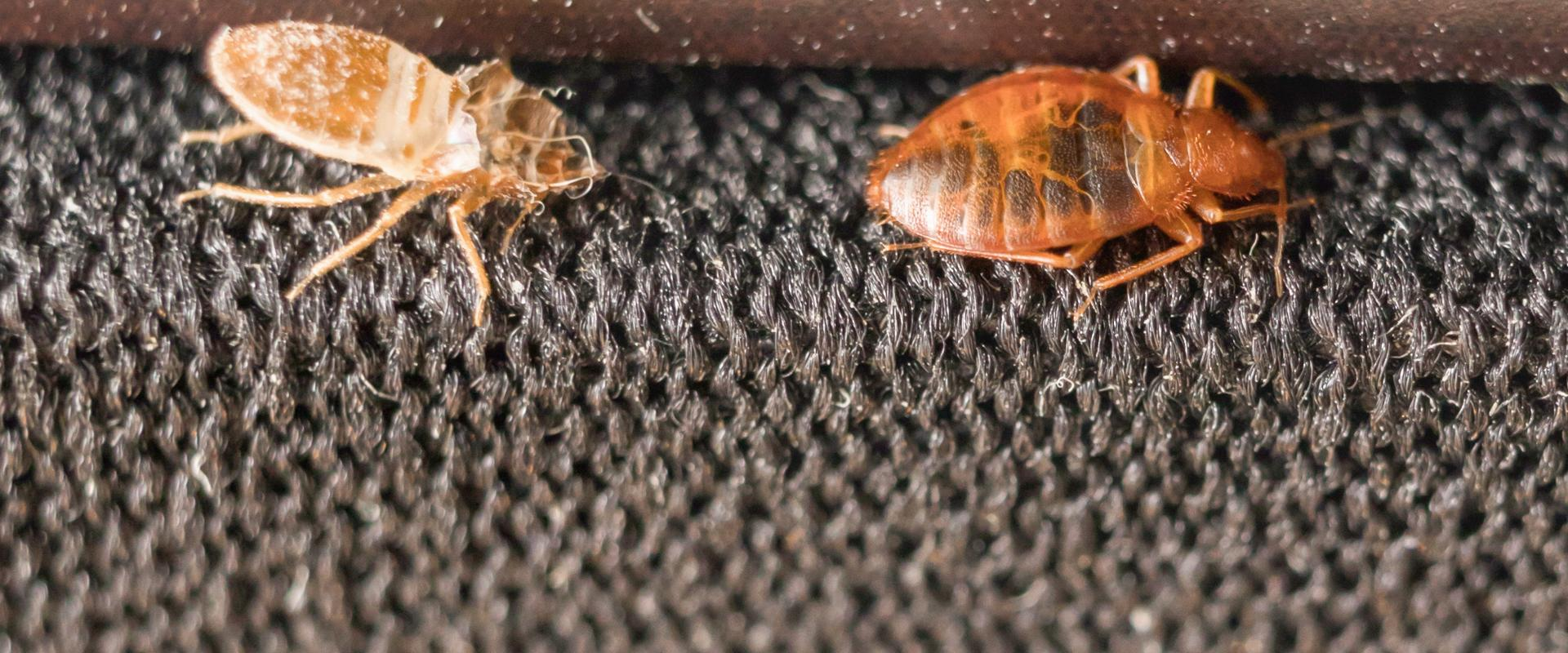 two bed bugs crawling on carpeting inside a home in whitehouse texas