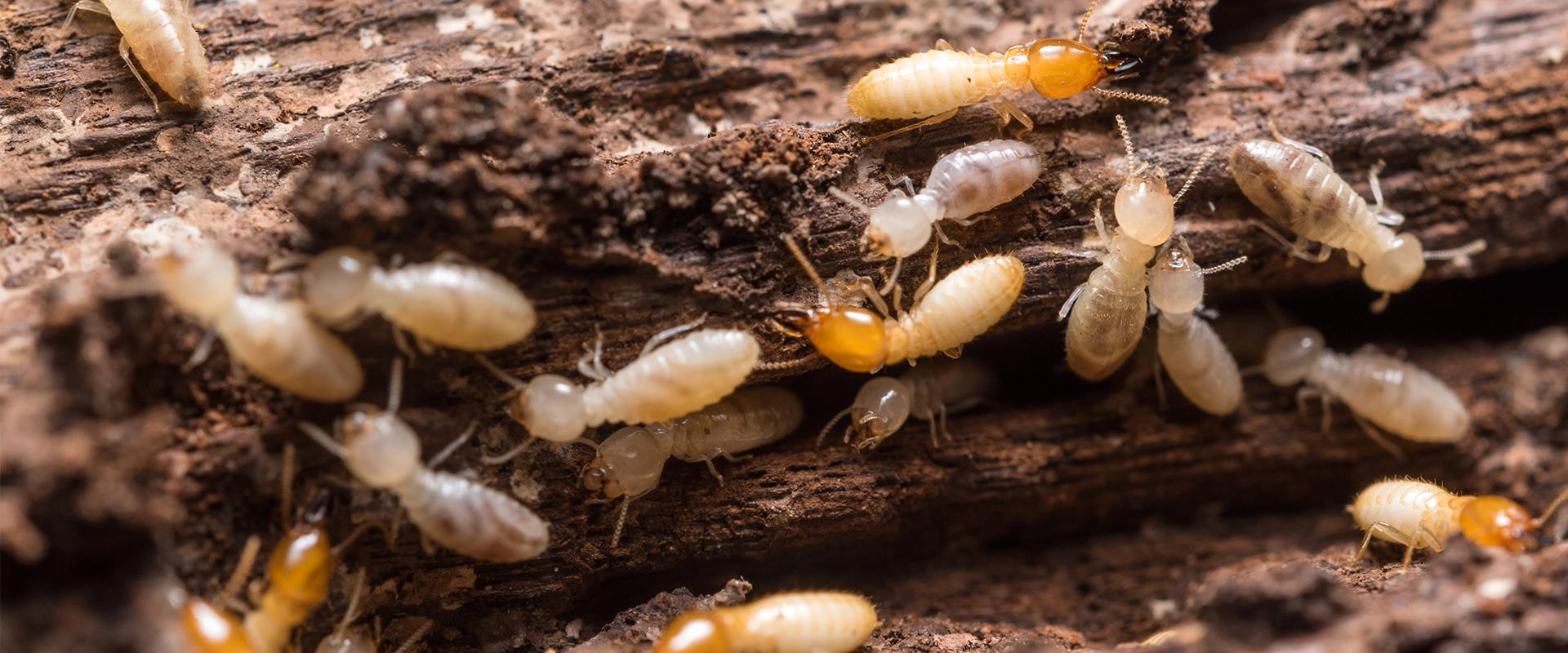 many termites crawling on damaged wood at a home in glenwood texas
