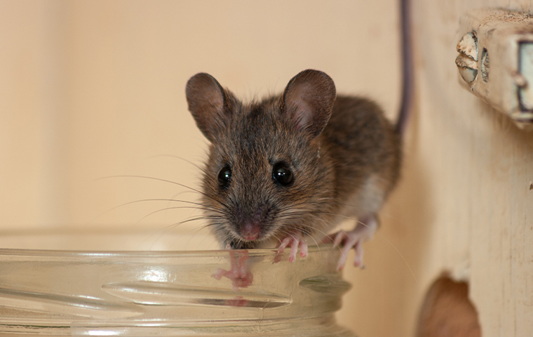 a mouse crawling on a drinking glass rim in a home in arp texas