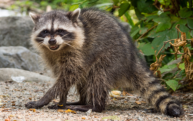 a raccoon outside of a home in gilmer texas