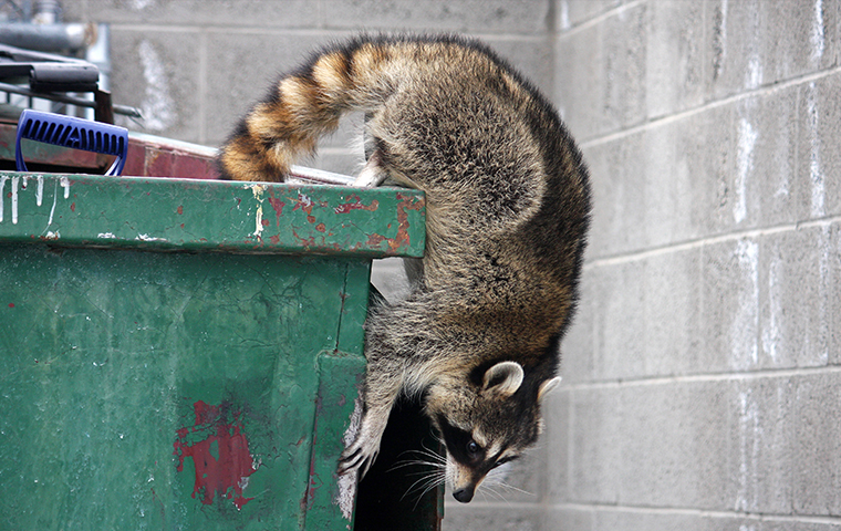 a raccoon on a dumpster outside a business in hallsville texas