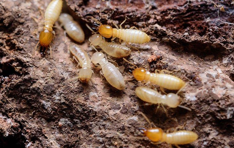 termites crawling on chewed wood