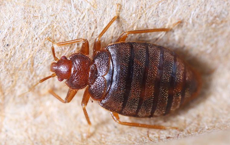 a bedbug on a box spring