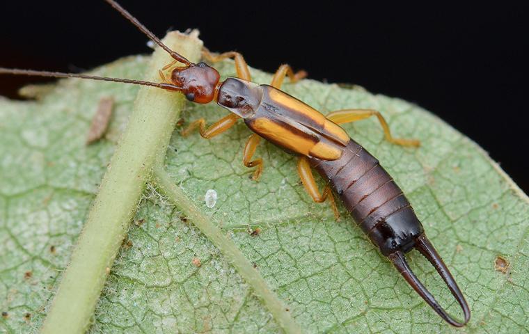 an earwig on a leaf