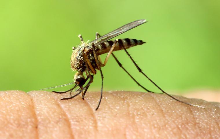 mosquito on human skin