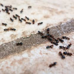 ants on tile counter top