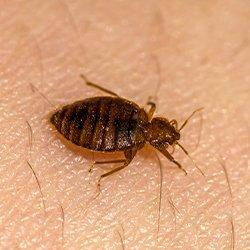 a bed bug biting human skin in western massachussettes