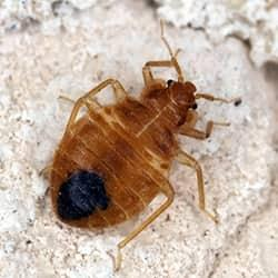 a golden colord bed bug crawling along a stone floor after fallig from a new england residence