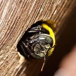 carpenter bee in chewed hole