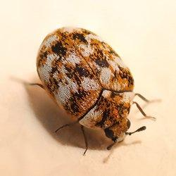 a carpet beetle in a bedroom