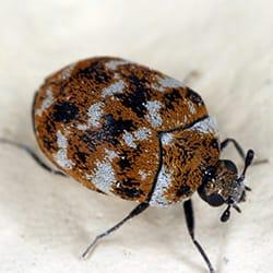 a carpet beetle crawling along w white rug in a springfield massachusetts home