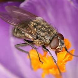 cluster fly on flower