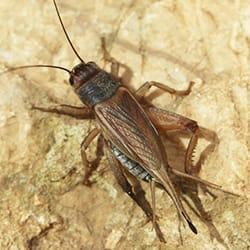 a brown and black color cricket cherping outside of a springfield massachusettes home during a fall evening