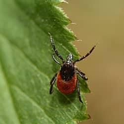 a red deer tick with a black head and legs crawling along a vibrant green leaf on a new england yard
